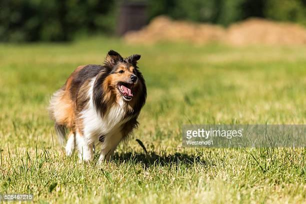 Shetland Sheepdog running on meadow