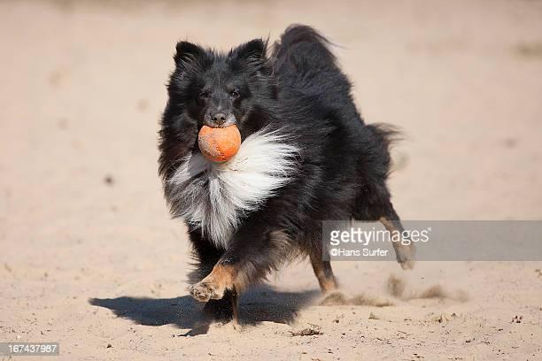 A Shetland Sheepdog (Sheltie) with a orange ball!