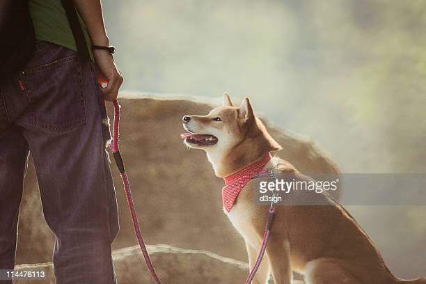 Shiba Inu / Akita Inu pet dog