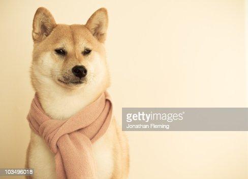 Shiba Inu Dog  : Stock Photo