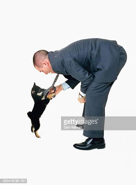 Shiba Inu dog playing with  businessman's tie, side view
