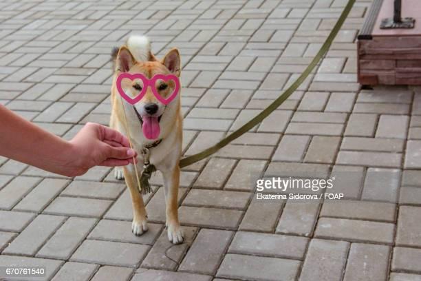 Shiba inu in heart shape glasses