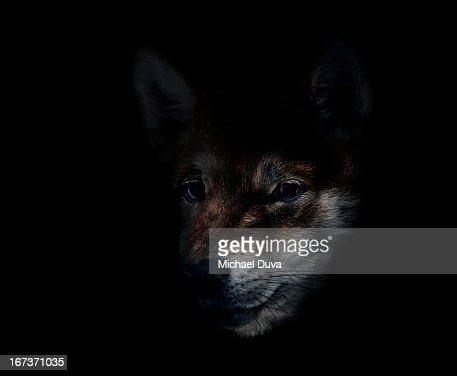 Shiba Inu on black background : Stock Photo
