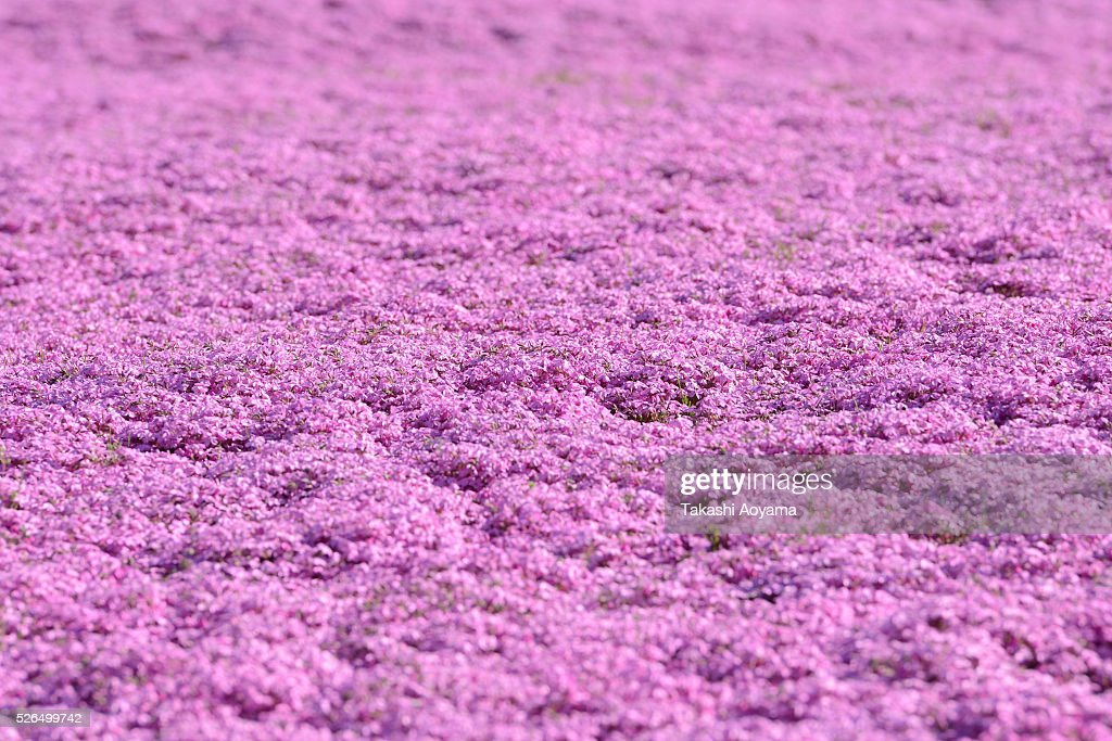 Shibazakura (Moss phlox) bloom during the Fuji Shibazakura Festival at Ryujin-ike Pond during the Fuji Shibazakura Festival at Ryujin-ike Pond on April 30, 2016 in Fujikawaguchiko, Japan. About 800,000 mos phlox flowers are in full bloom at the festival held near the Mt. Fuji.