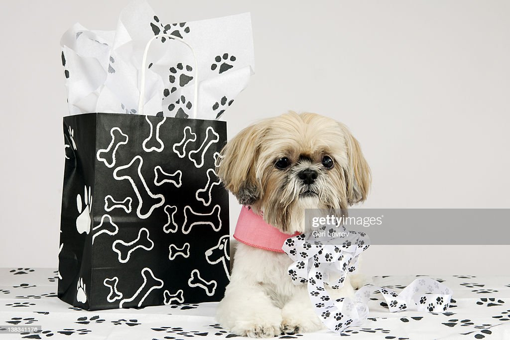 Shih Tzu dog by shopping bag : Stock Photo