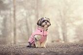 Shih tzu posing in a pink winter jacket