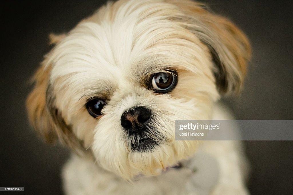 Shih Tzu little dog : Stock Photo