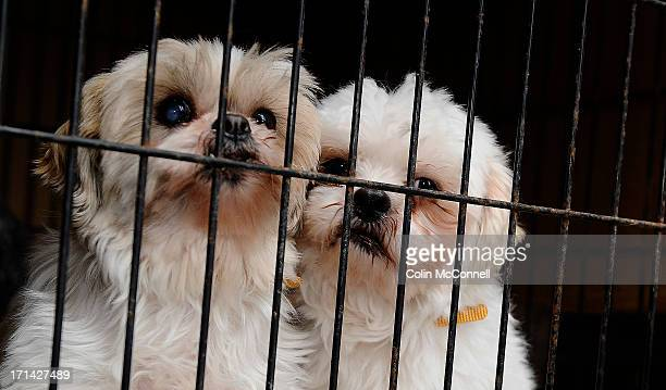 2 shih tzu s that were rescued from a puppy mill cuddle in their cage as the truck arrives at HS on February 2nd 2013Twenty puppiesincluding two who...