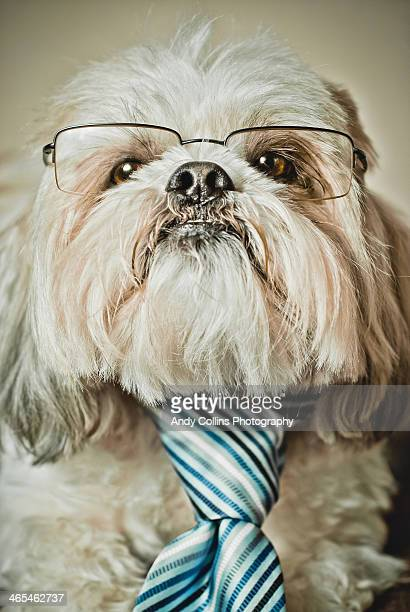 shih Tzu 'YOU'RE FIRED' dog