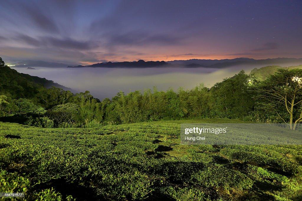 Shihding spring tea