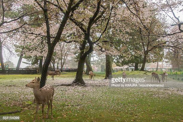 Shika Deers under Cherry Trees at Nara Park, Japan