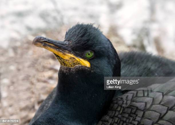 A shimmering Shag (sea bird)