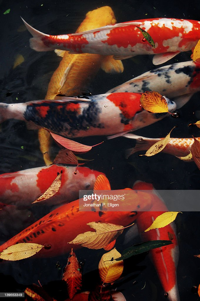 Shinchi teien koi stock photo getty images for Koi carp pool design