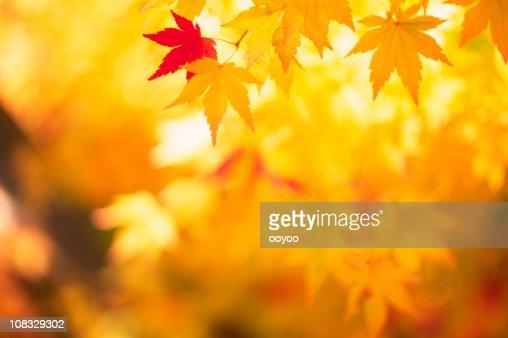 Shining Autumn Leaves