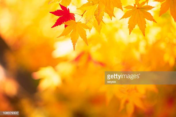 Shining Autumn Leaves