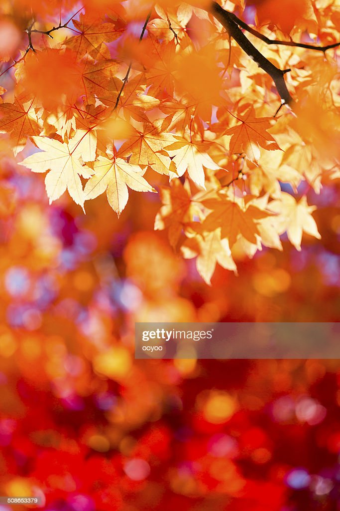 Shining Autumn Leaves : Stock Photo