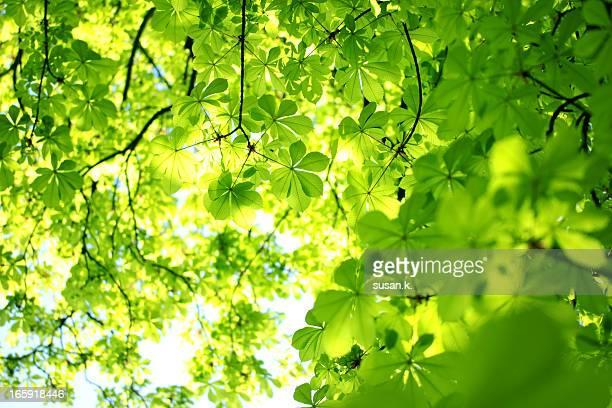 Shining green horse chestnut spring leaves