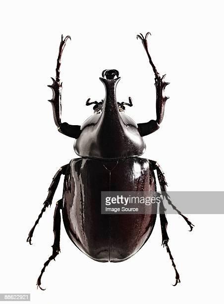 A shiny black beetle