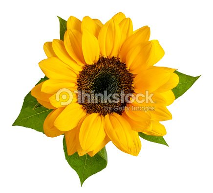 Shiny Yellow Sunflower With Green Leaves On White Background Stock