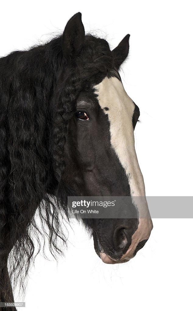 Shire Horse : Stock Photo