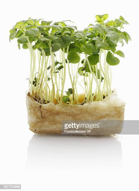 Shiso sprouts against white background