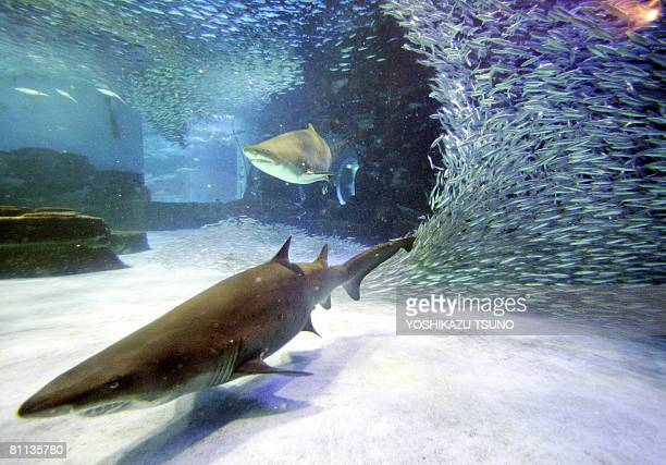 A shoal of 15000 sardines makes various shapes as sand tiger sharks swim in a large tank at the Hakkeijima Sea Paradise Aquarium in Yokohama in...