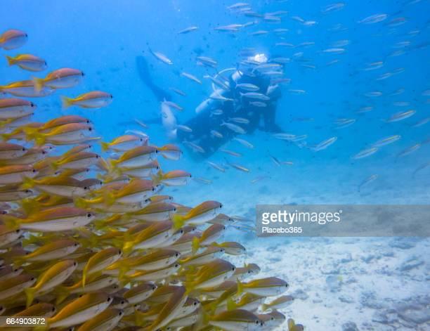 Shoal of Bigeye Snapper (Lujanus lutjanus) Fish and Scuba Diver, Andaman Sea, Krabi, Thailand.