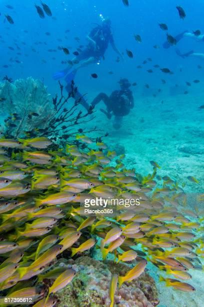 Shoal of Bigeye Snapper (Lujanus lutjanus) Fish and Scuba Divers, Andaman Sea, Krabi, Thailand.