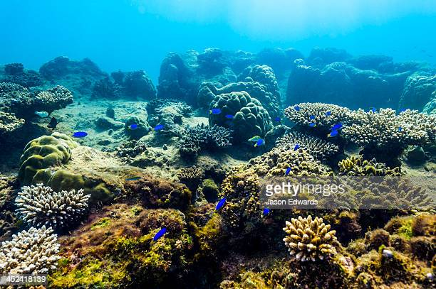 A shoal of blue reef fish swimming over a coral garden on a reef.