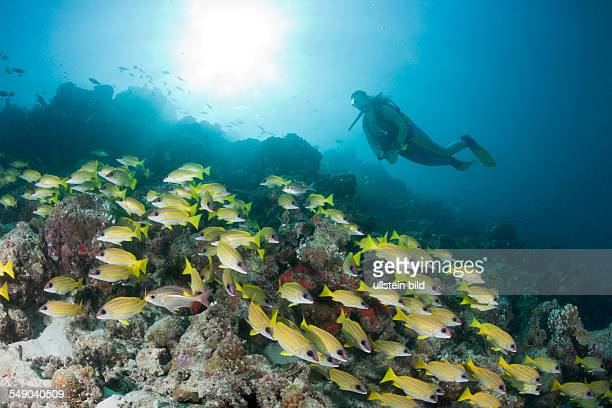 Shoal of Bluestripe Snapper and Diver Lutjanus kasmira Medhu Faru Reef South Male Atoll Maldives