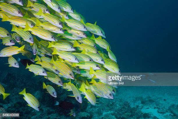 Shoal of Bluestripe Snapper Lutjanus kasmira Ellaidhoo House Reef North Ari Atoll Maldives