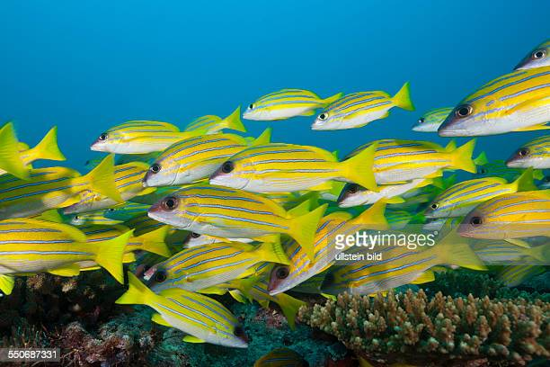 Shoal of Bluestripe Snapper Lutjanus kasmira North Male Atoll Maldives