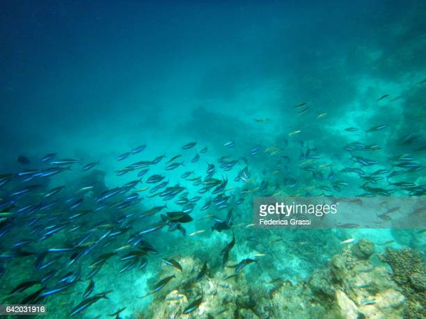Shoal Of Caesio Caerulaurea (Blue Fusilier Fish)