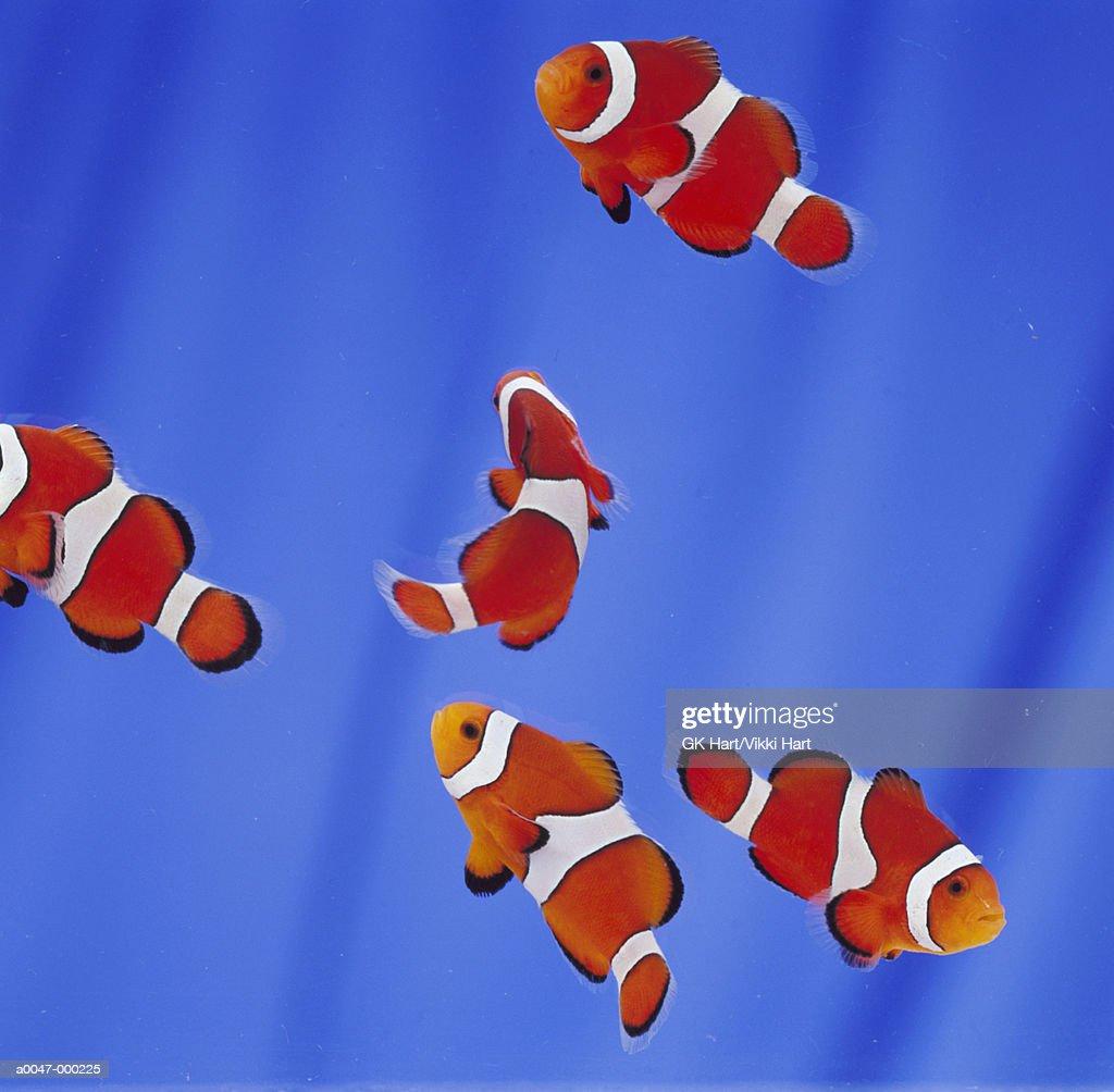Shoal of Clown Fish : Stock Photo