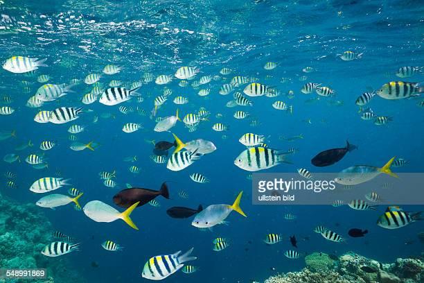 Shoal of Coral Fishes Micronesia Palau