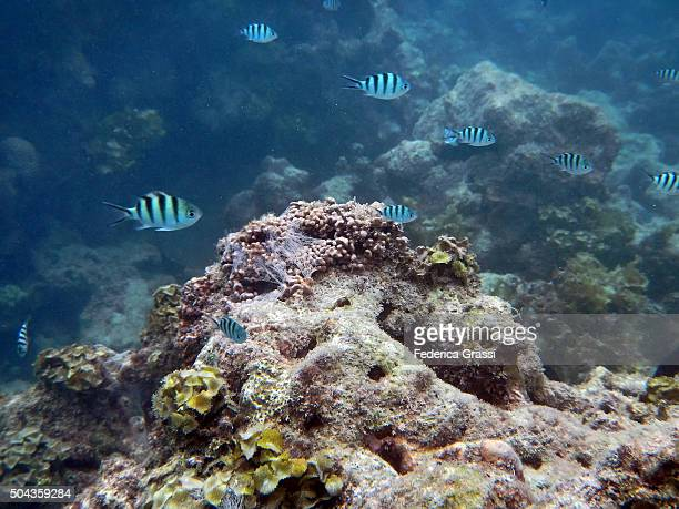 Shoal of Damselfish on the Coral Reef in Seychelles