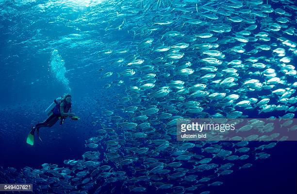 shoal of fishes schooling fishes and scuba diver Egypt Red Sea Brother Islands Brothers El Akhawein