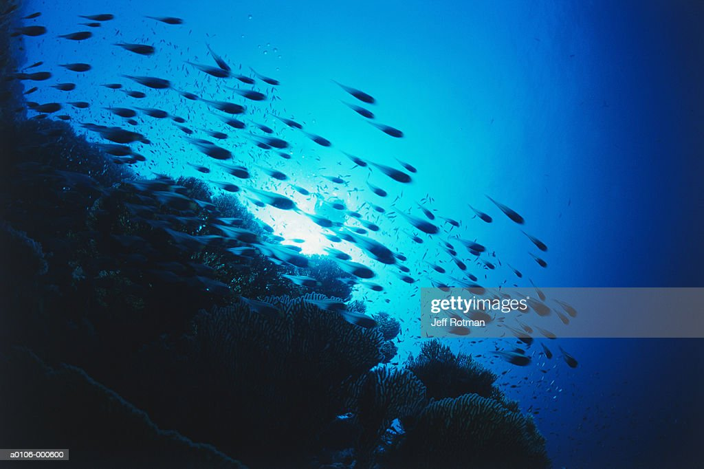 Shoal of Glassy Sweepers : Stock Photo
