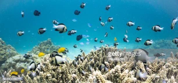 Shoal of Indian Damselfish (Dascyllus cameus) on Fragile Staghorn Coral (Acropora), Koh Haa Islands, Krabi, Andaman Sea, Thailand.