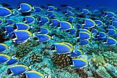 Shoal of powder blue tang surgeonfish (Acanthurus leucosternon) in the tropical coral reef