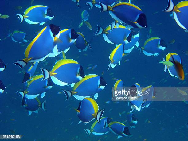 Shoal of Powderblue Surgeonfish