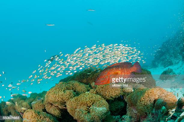 Shoal of Pygmy Sweepers and Coral Grouper Parapriacanthus ransonneti Cephalopholis miniata Baa Atoll Indian Ocean Maldives