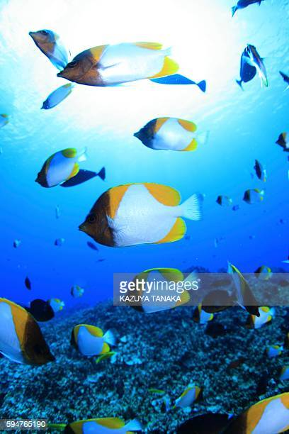 Shoal of pyramid butterflyfish, Saipan, Northern Mariana Islands