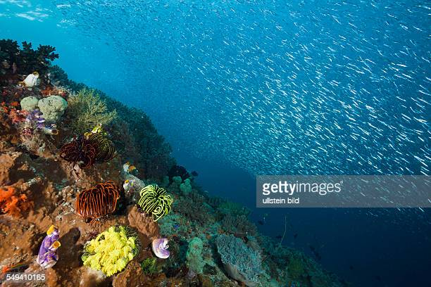 Shoal of Silversides over Coral Reef Atherinidae Raja Ampat West Papua Indonesia