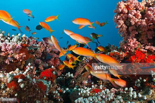 Shoal of Threadfin Anthias in Coral Reef Nemanthias carberryi Baa Atoll Indian Ocean Maldives