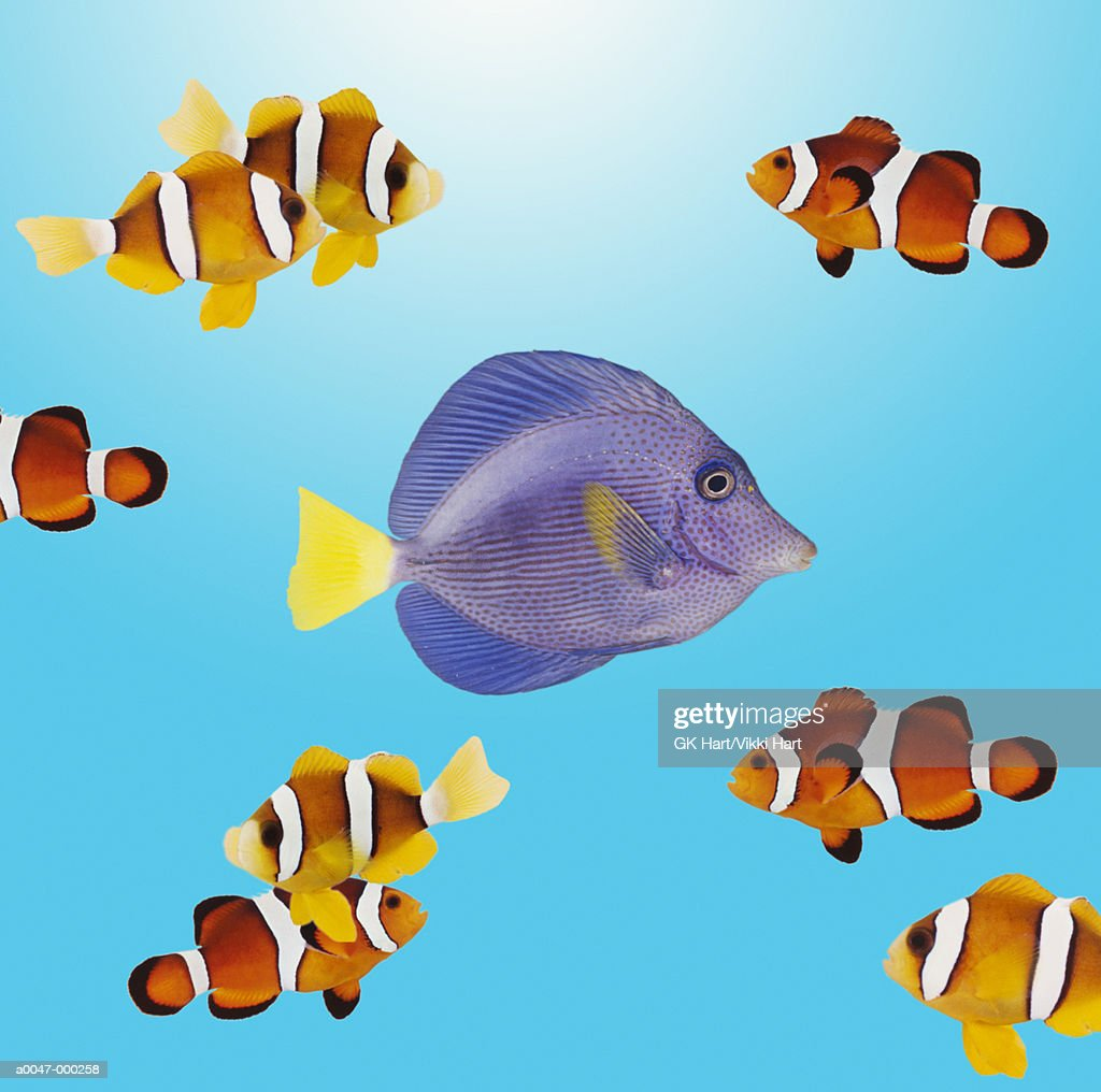 Shoal of Tropical Fishes : Stock Photo
