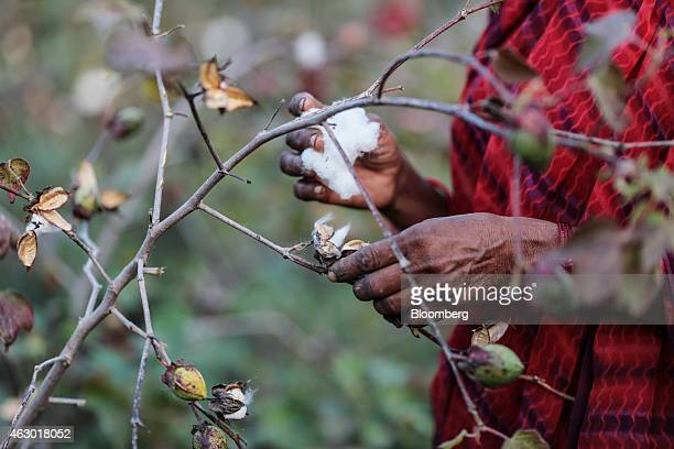Shobha Singh Bais whose husband committed suicide by eating rat poison picks cotton at her field in Yavatmal Maharashtra India on Tuesday Feb 3 2015...