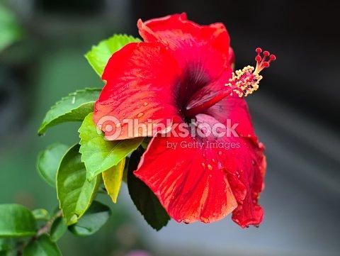Shoe Flower Or Hibiscus Rosasinensis Stock Photo Thinkstock
