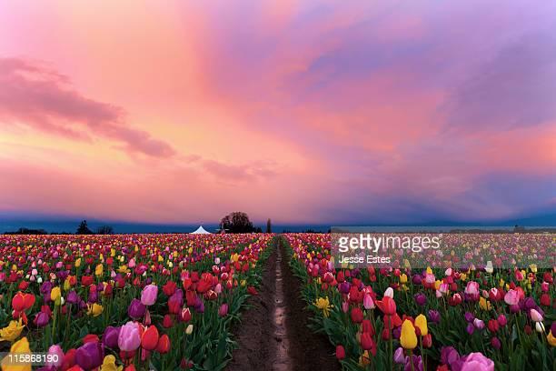 Shoe Tulip farm
