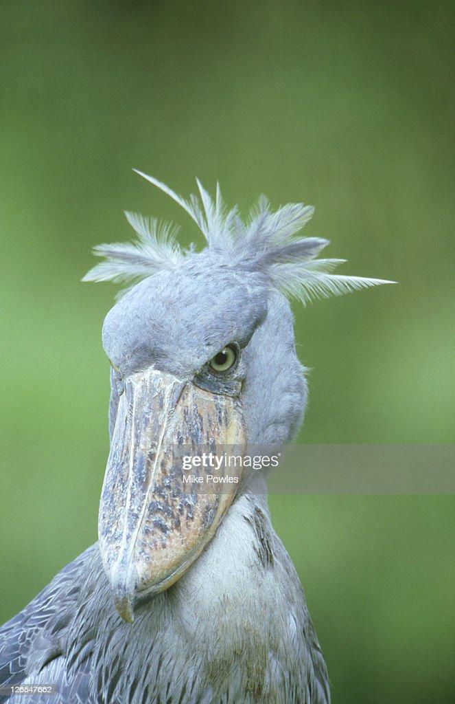 Shoebill Stork, Balaeniceps rex, Uganda, Africa